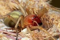 """S jedovatým pavoukem """"Zápřednicí"""", se setkal v těchto dnech na louce poblíž obce Lažany na Chomutovsku fotograf při pořizování snímků motýla. Překvapila ho její agresivita a možnost bolestivého kousnutí."""