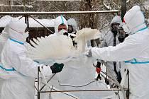 Ptačí chřipku veterináři zachytili v Bílencích na Chomutovsku, kde museli zlikvidovat celý chov drůbeže o více než 300 kusech.
