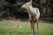 Jelen bucharský