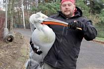 Pelikáni ze zooparku opouštějí rybník, stěhují se do zimoviště