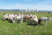 Zatím zhruba stohlavé stádo tak od soboty 16. května opět spásá travní porost na zrekultivovaném území.