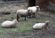 Nejtěžší pro Ježíškova vnoučata bylo sehnat seno pro ovce v areálu domova.