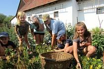 Na statku ve skanzenu vypěstovali zeleninu, typickou pro krušnohorské zahrádky už loni. Na snímku děti sklízejí fazole.