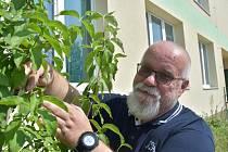 Tajemný tirnickel výzkumník našel přímo před budovou ústavu. Je to dřín obecný, jehož zapomenutý německý název objevil v knize z 18. století. Roman Honzík ukazuje plody tohoto stromu.