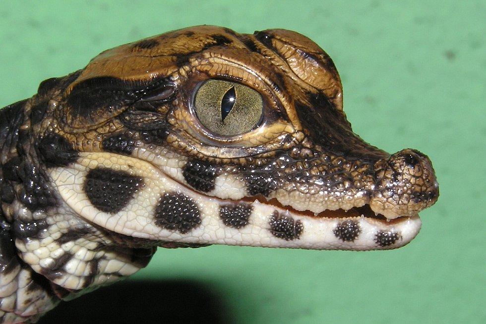 Portrét krokodýlího mláděte odchovaného Jaroslavem Zelinkou z Chomutova