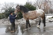 Wendelína koupil chomutovský zoopark jako půlroční hříbě. Jeho ošetřovatelka Alena Kubová se s ním nyní loučila těžce.