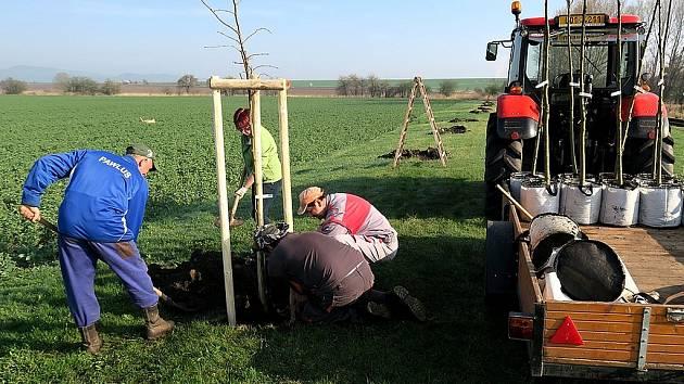 Výsadba nových stromů ve Veliké Vsi