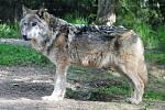 Poslední vlk ze zooparku už je ve zvířecím nebi.