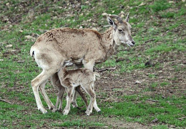 Dvojčátka arkala narozená v zooparku.
