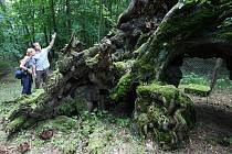 Kořeny žeberské lípy, které pamatují více než naši praprapředkové.