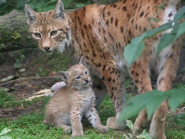 Máma Princezna s jedním ze svých mláďat, jak je zachytila návštěvnice zooparku.