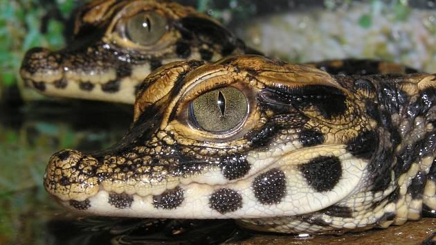 Mláďata krokodýlů, která odchoval chomutovský chovatel Jaroslav Zelinka v paneláku
