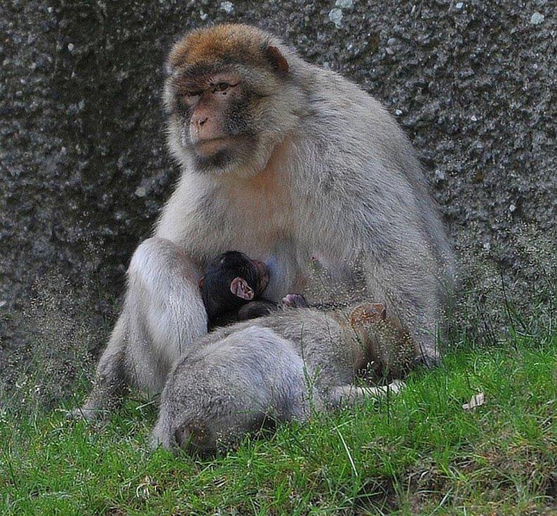 Čerstvě narozený makak magot.