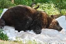 Medvědi v chomutovském zooparku si užívali sněhu a ledu