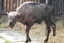 Zubožený zubří býček, který patří plzeňské zoo, po převozu od železnorudského chovatele do zooparku v Chomutově.