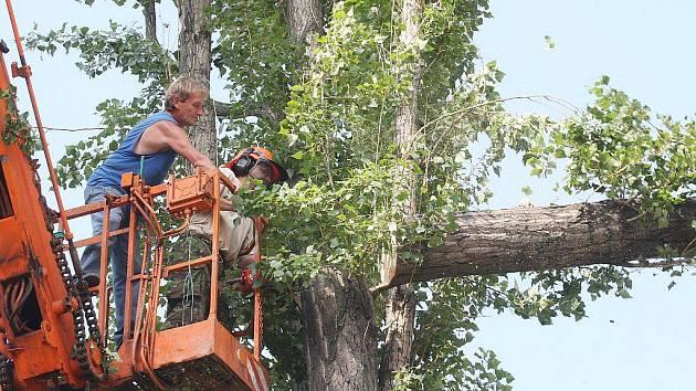 Dřevorubci postupně odřezávají větve velkých topolů.