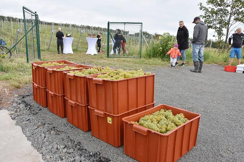 Sklidili hrozny na vinici v Tušimicích.