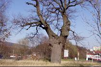Ježíšův dub v Klášterci nad Ohří