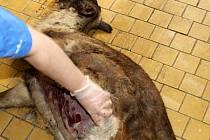 Mrtvá samice soba polárního.