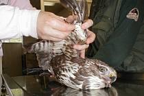Ošetřovatelé zooparku ošetřují raněného dravce.