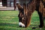 Do chomutovského zooparku přivezli z německého soukromého chovu dvě samice osla poitouského.