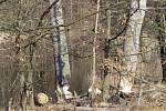 Práce bobra v povodí Ohře