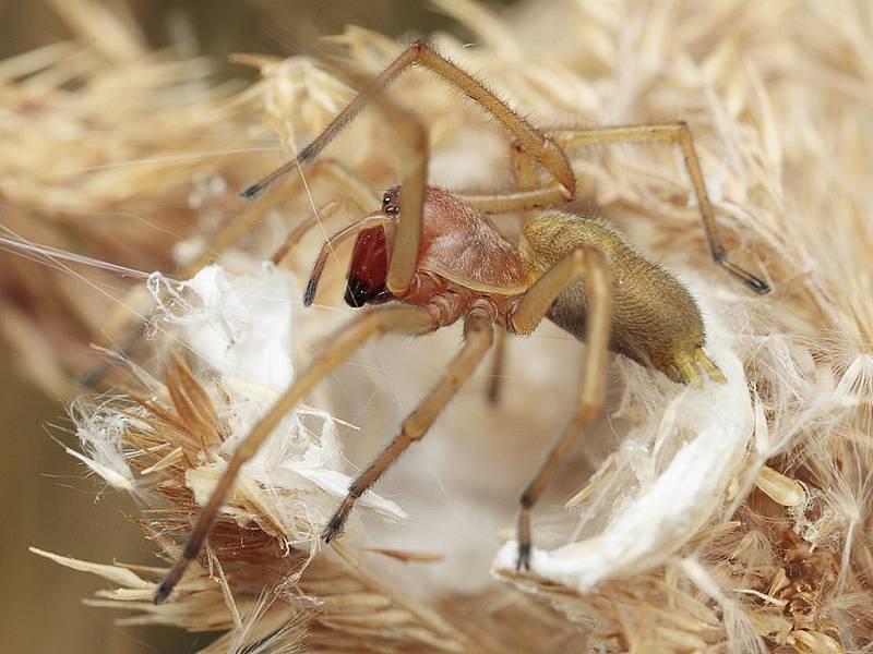 Jen málo druhů pavouků vpřípadě kousnutí dokáže vyvolat reakci a naprostá většina příznaků se projevuje pouze lokálně.