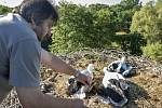 Ornitolog Petr Hora kroužkuje čápata přímo v hnízdě poblíž Kamenného rybníka v zooparku.