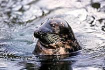 Tuleň kuželozubý chovaný v zooparku je symbolem na poutači pro turisty.