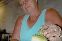 DOMÁCÍ. Čerstvou cibuli právě očistila Helena Řezáčová, která v zemědělské firmě pracuje.
