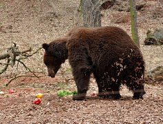 Buzení medvědů v chomutovském zooparku, březen 2016.