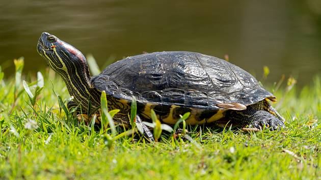 Želva nádherná.
