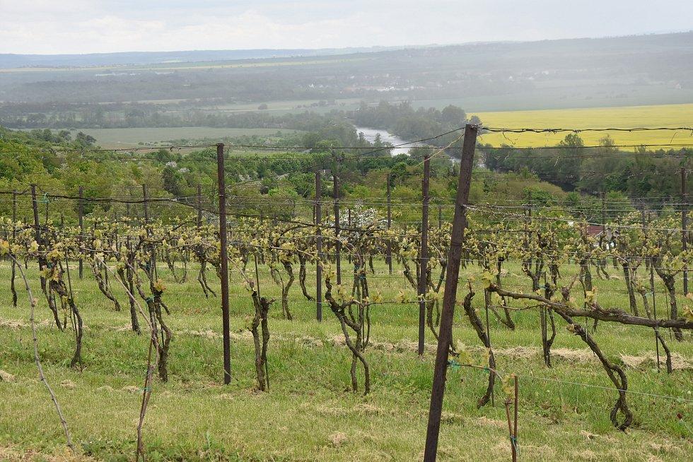 Z vinohradu ve Stranné se nabízí pohled na řeku Ohři a širokého okolí. Révu tam na svých pozemcích pěstují tři vinohradníci.