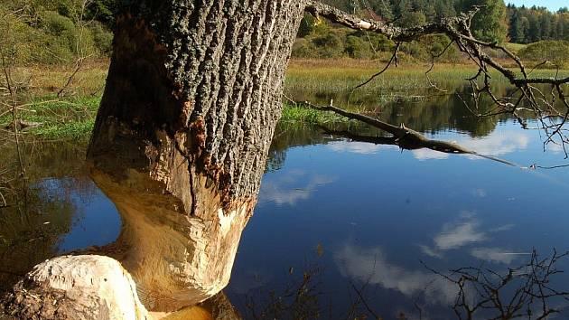 Strom poškozený bobrem