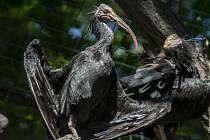 Kriticky ohrožený Ibis skalní.
