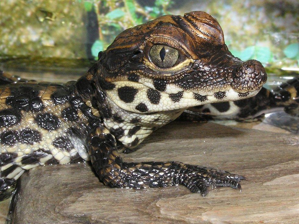 Mláďata krokodýlů s viditelným vaječným zubem. Pocházejí z chovu Jaroslava Zelinky z Chomutova.