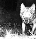 Vlka se podařilo v Krušných horách zachytit do fotopasti Hnutí DUHA.