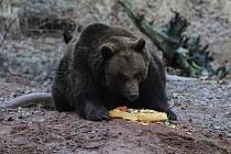 Buzení medvědů v chomutovském zooparku.