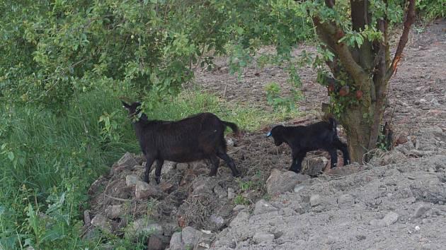 Kadaňské nábřeží má novou atrakci, tentokrát praktickou kozy a ovce se postarají o zeleň na srázech pod hradbami.