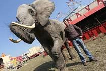 SLONICE TAMBA. Patří k hlavním atrakcím cirkusu Cirkusu Bob Navarro King.