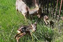 Zoopark má nové přírůstky. Dvě malá srnčata.
