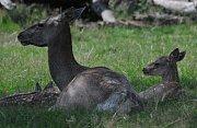 Máma s potomkem jelena bucharského.