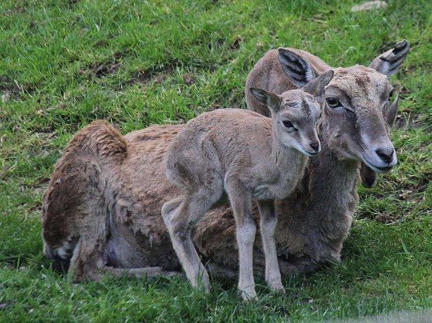 V zooparku se letos narodilo už 45 mláďat, nejvíce ovcí a koz. Další přírůstky chovatelé očekávají. Na snímku mládě arkala se svou matkou.