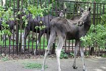 Novým přírůstkem v zooparku je los Maximius.