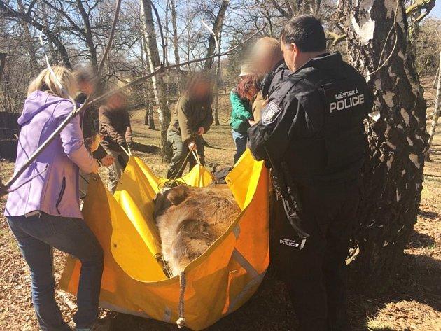 Zvíře, které váží více než čtvrt tuny, dopravila do výběhu skupinka ošetřovatelů.
