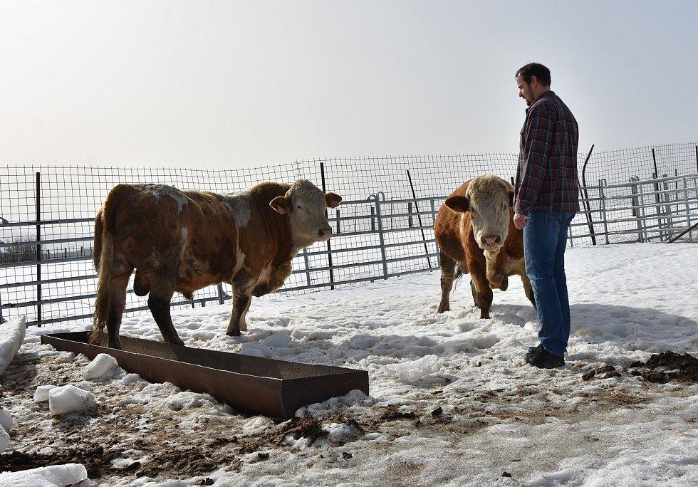 David Lacman v ohradě s plemennými býky.