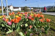 V Jirkově zvedá hlavy armáda tulipánů, narcisů a modřenců. Barevné záhony se vinou podél nejdelší Dvořákovy ulice a částečně i ve Studentské.