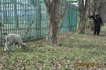 """Jeden ze strážníků pozoruje ovci, která se pase na druhé straně plotu, než všechny její """"kolegyně""""."""