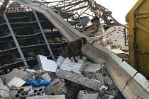 Labrador Jerry prohledává sutiny po výbuchu v Bejrútu.