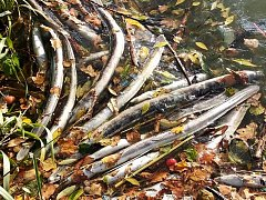 Uhynulá rybí těla šíří silný zápach